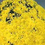 Реални снови цвећара из Шаторње