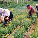 Невен и нана исплативији од кукуруза