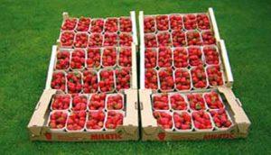 jagode-na-sprat