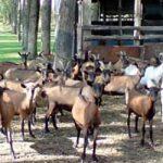 ГАЗДИНСТВО ЕМИЛА КЕЊЕРЕША: Панонски сир алпских коза