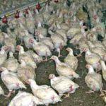 Неискоришћена шанса за извоз живинског меса