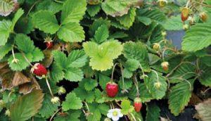 sumske-jagode