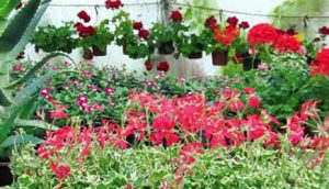 draganini-cvetni-aranzmani