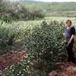 Натурал фуд: Немци воле пекмез од шљива