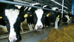 jeremici-imaju-vise-krava-nego-celo-selo