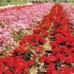 Руже из Сенте миришу Холандијом