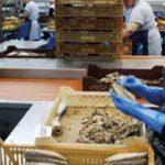 PRERADA RIBE U NAJVEĆOJ FABRICI U ŠPANSKOJ POKRAJINI ANDALUZIJA: U konzervi samo riba, so i ulje