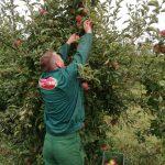 Nectar širi zasade organske plantaže jabuka